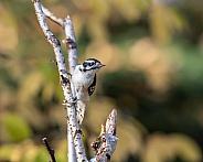 Female Downy Woodpecker in Alaska
