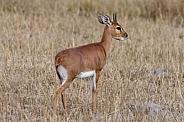 Steenbok Antelope -Botswana