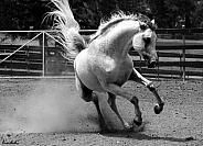Energy! Arabian Stallion