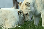 Female White Lions Head Rubbing Affectionately