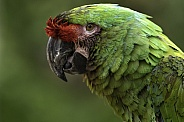 Red Fronted Macaw Close Up Face Shot