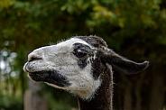 Lama (genus)