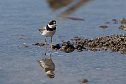 Semipalmated Plover Reflection