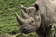 Black Rhino Side Profile Close Up