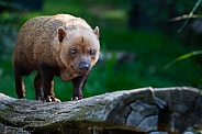 Bush dog on a log