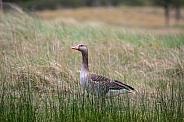 Gray goose