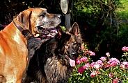 Great Dane ande the German Shepherd