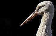White Stork Close Up Side Profile
