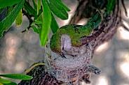 Hummingbird - Little Mother Hummer