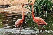 Caribean Flamingoes touching beaks