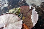 Common water frog
