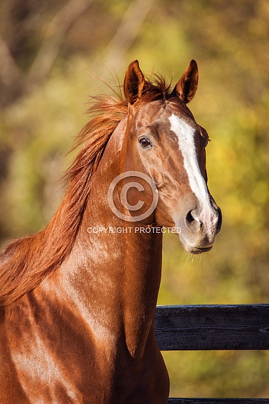Chestnut Thoroughbred