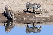 Warthogs at a waterhole - Etosha - Namibia