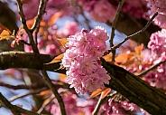 Japanese Flowering Cherry Blossom
