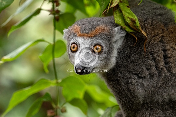 Crowned Lemur In Trees Close Up