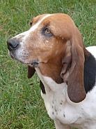 Bassett Hound dog