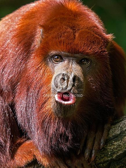 Red Howler Monkey also knoVenezuelan red howler (Alouatta seniculus)