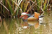 Male Mandarin Duck