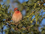 House Finch in Tucson Arizona