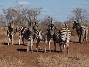 Burchell's (Plains) Zebras