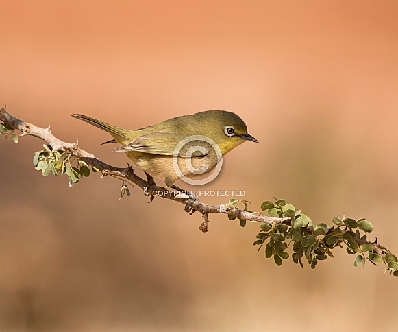 Cape White-eye bird
