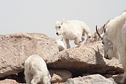 Wild mountain goats
