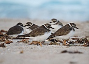 Semipalmated Plover Bird