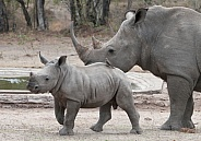 White rhinoceros(Ceratotherium simum).Wild
