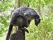 Grizzled tree-kangaroo