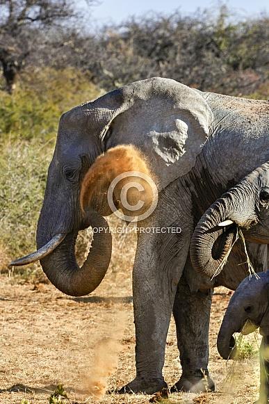 African Elephant having a dust bath - Namibia