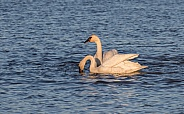 Trumpeter Swan Pair Feeding in Alaska
