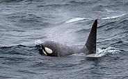 Orca, killer whale (wild)