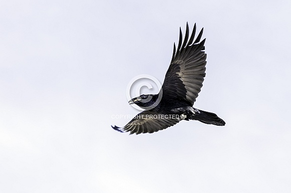 A Common Raven in Flight