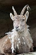 Moulting Alpine ibex
