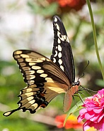 Giant Swallowtail feeding on Zinnia flowers