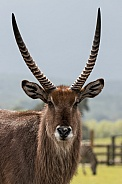 Elypsian Waterbuck Front On