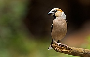 The hawfinch male