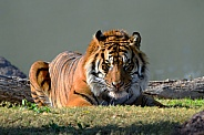 Tiger - Sumatran Tiger