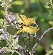 A Mating Pair of Yellow Warblers in Alaska