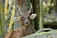 Javan Deer
