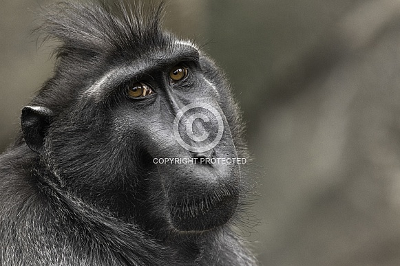 Sulawesi Crested Macaque Close Up Face Shot