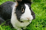 Lionhead domestic Rabbit