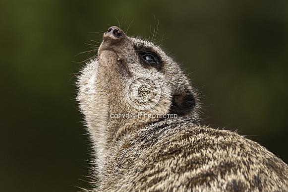 Meerkat Looking Up To Sky