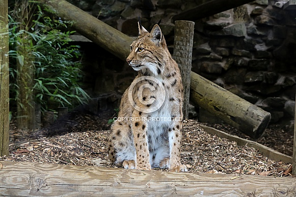 Carpathian Lynx Sitting Forward Facing Left