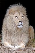 White lion (Panthera Leo)