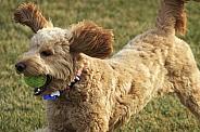 Goldendoodle Dog