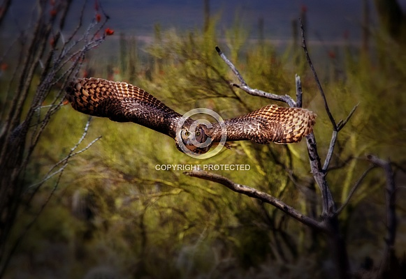 Great Horned Owl Flying