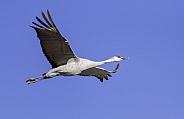 Sandhill crane flying against a blue sky