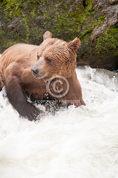 Wild adult grizzly bear fishing