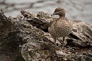 Young Australian wood duck (wild)